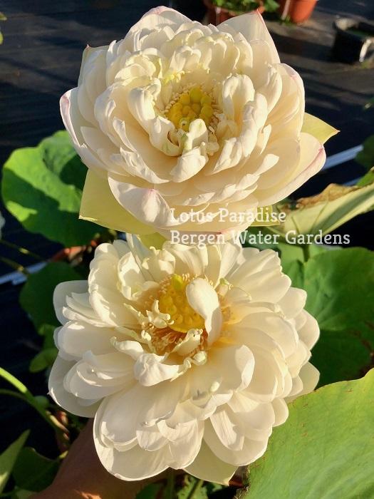 Snow White Lotus