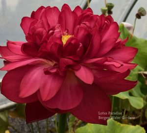 Red Bowl Lotus