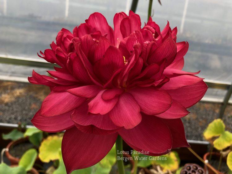 Red Bowl Lotus