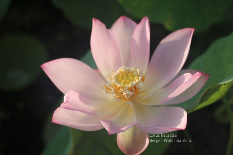 Pink Make up No.9 Lotus