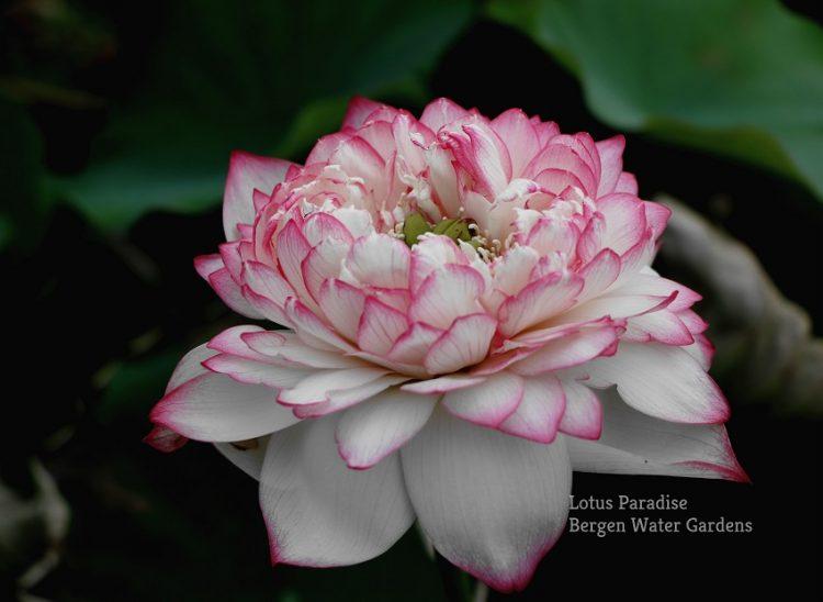 Moon Reflection Lotus