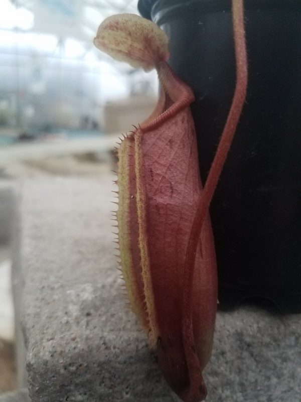 Nepenthes (veitchii x lowii) x mira