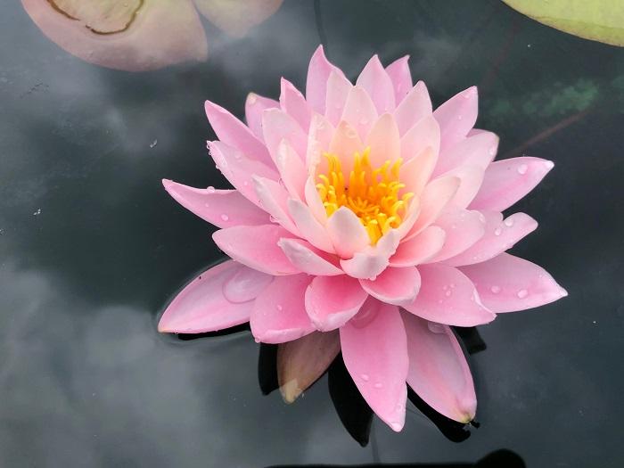 N. Pink Sunrise hardy waterlily