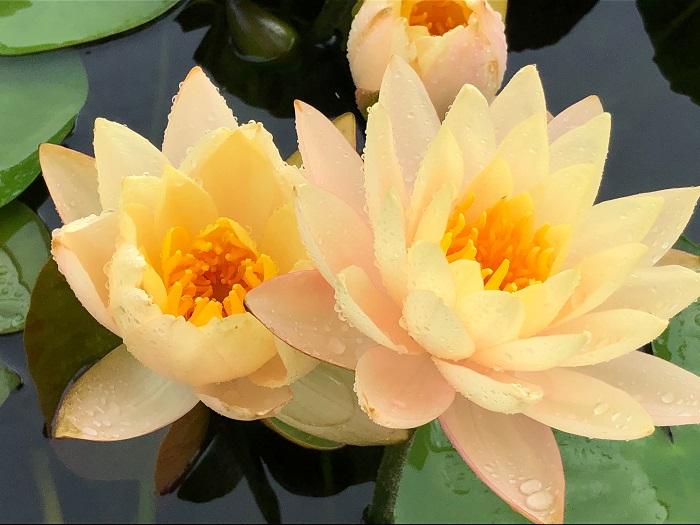 N. Mangkala Ubol hardy waterlily