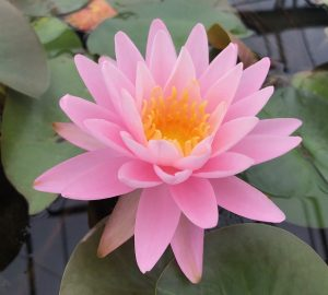 N. Pink Sunrise hardy waterlily