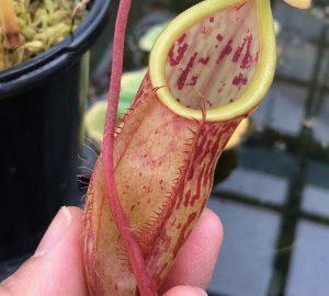 Nepenthes spathulata x glabrata