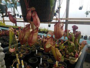 Nepenthes ventricosa x mirabilis var. globosa