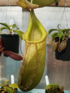 Nepenthes bellii x robcantleyi