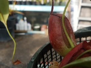 "Nepenthes ampullaria ""Williams Red'"