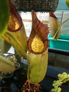 Nepenthes maxima x veitchii BE9999