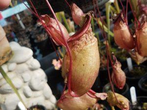 Nepenthes ventricosa x mirabilis var. globosa BE9999
