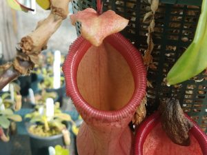 Nepenthes ventricosa Pink