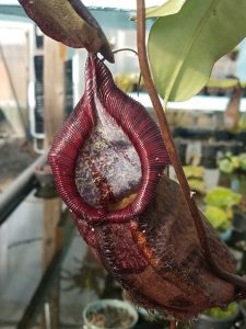 Nepenthes densiflora x spectabilis BE9999