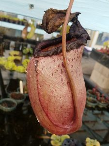 Nepenthes sibuyanensis BE3164