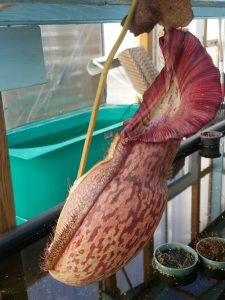 Nepenthes spathulata x spectabilis BE3314