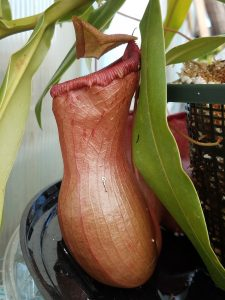 Nepenthes ventricosa Orange BE3215