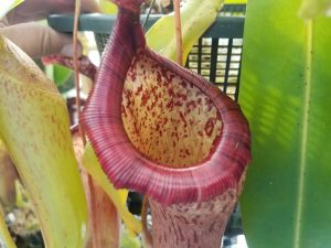 Nepenthes ventricosa x glandulifera BE3401