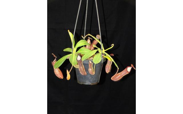 Nepenthes glandulifera x hamata BE3953