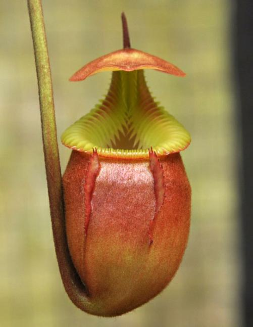 Nepenthes villosa BE3225