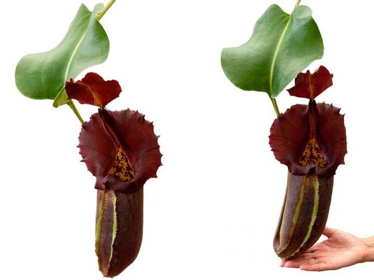Nepenthes robcantleyi BE 3517