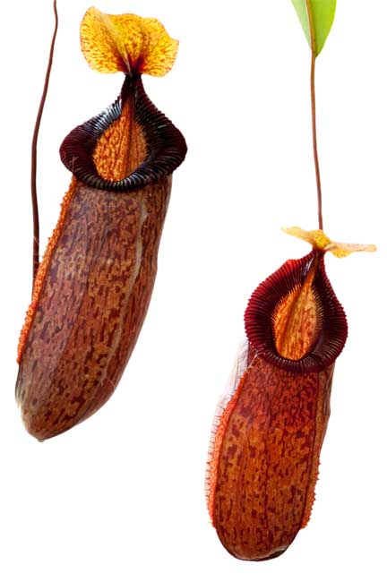 Nepenthes sibuyanesis x hamata BE3562
