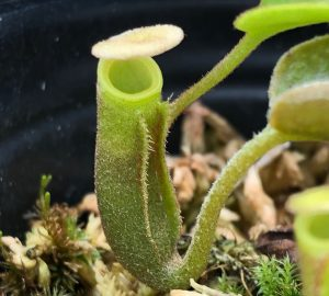 Nepenthes lowii Trus Madi BE3100