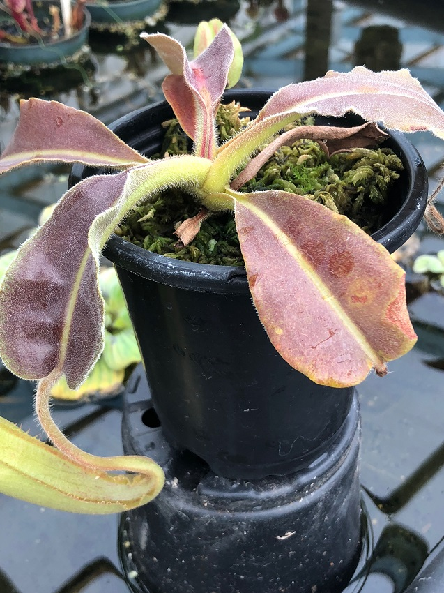Nepenthes maxima Wavy Leaf