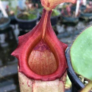 Nepenthes rajah x veitchii BE3730