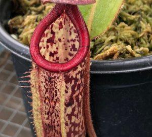 Nepenthes burbidgeae x glandulifera BE3705