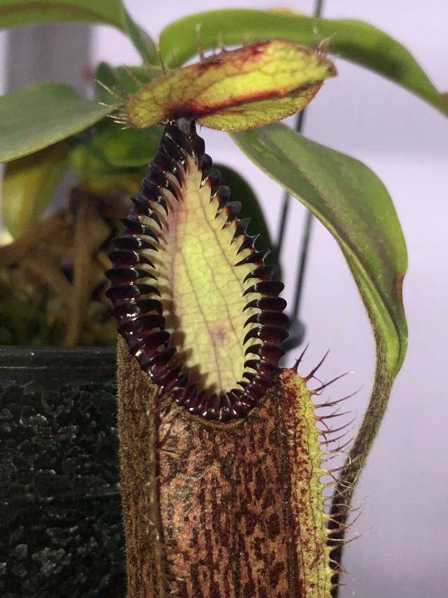 Nepenthes hamata Lumut Form