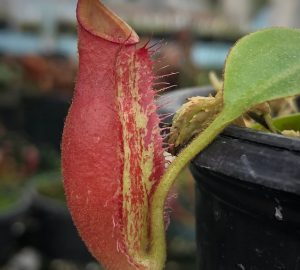 Nepenthes robcantleyi x ampullaria BE3767