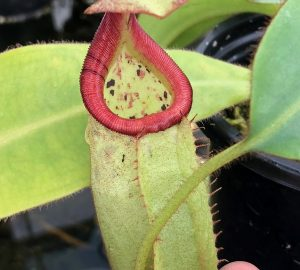 Nepenthes burbidgeae x veitchii BE3677