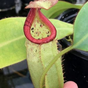 Nepenthes burbidgeae x veitchii BE3677
