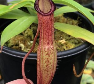 Nepenthes ventricosa x hamata BE3672