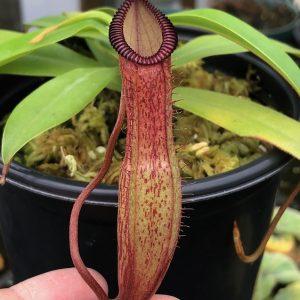 Nepenthes ventricosa x hamata BE3672