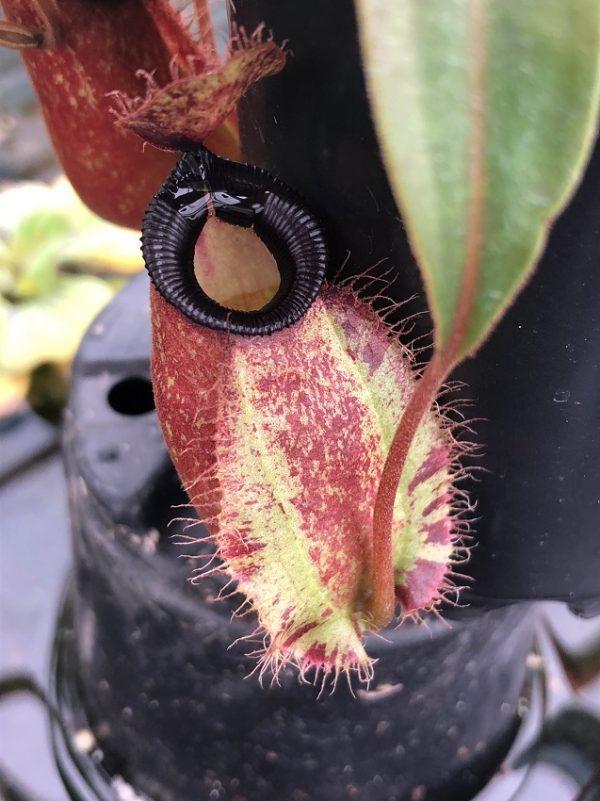 Nepenthes ampullaria x hamata BE3726