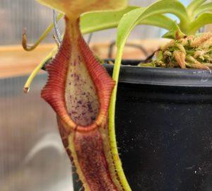 Nepenthes singalana BE3170