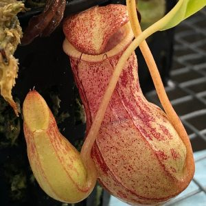 Nepenthes burkei BE3254