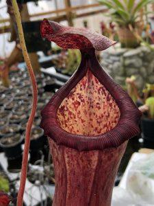 Nepenthes ventricosa x glandulifera