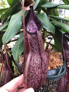 Nepenthes petiolata x hamata