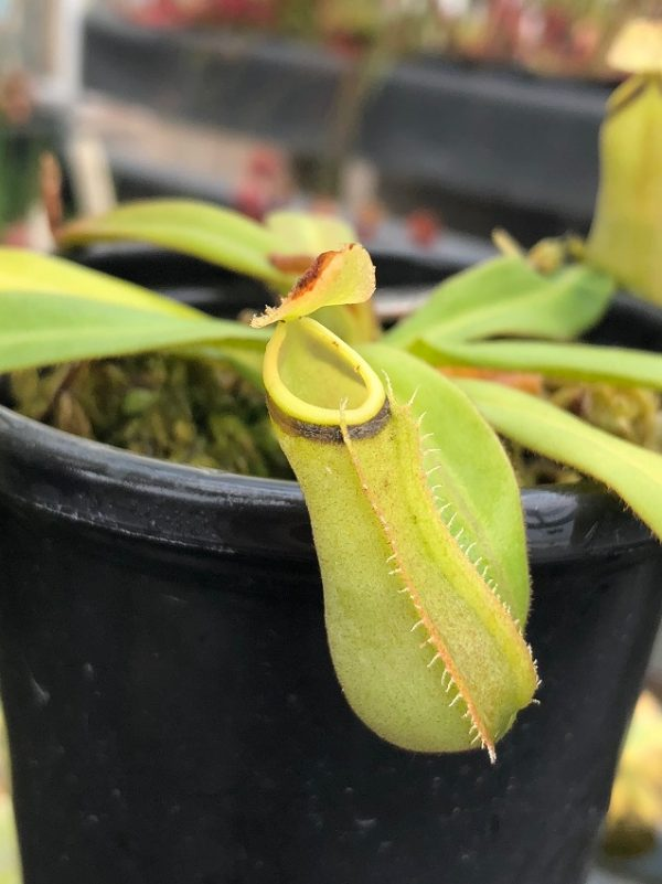 Nepenthes albomarginata BE3004