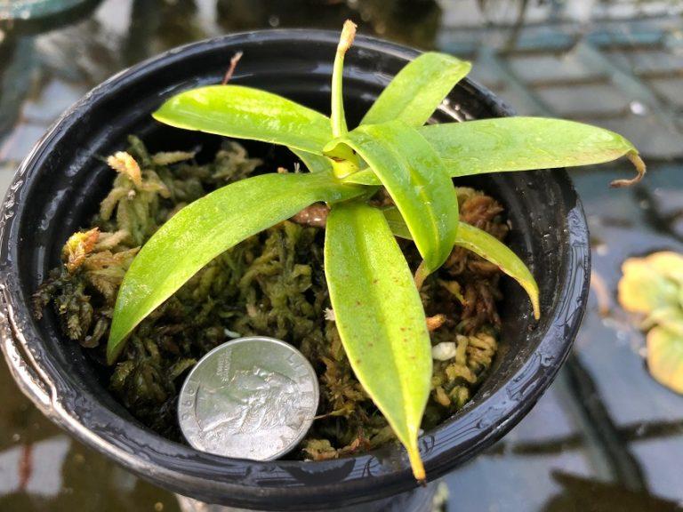 Nepenthes hamata BE3380 Lumut Form