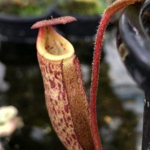 Nepenthes rajah x burbidgeae BE3865 (alisapurtrana)