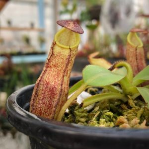 Nepenthes spectabilis x veitchii BE3636
