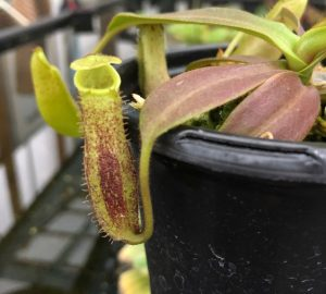 Nepenthes spectabilis x platychila BE3760