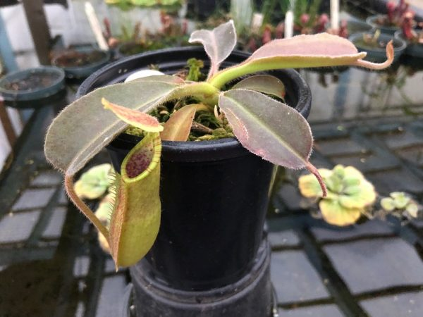 Nepenthes maxima BE3907