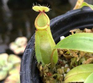 Nepenthes mirabilis var. globosa x hamata BE3685