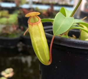 Nepenthes ventricosa x dubia BE3742