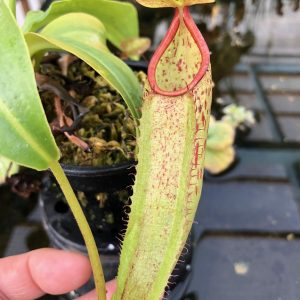 Nepenthes sp #1 BE3172