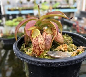 Nepenthes spectabilis BE3322